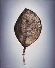 Means of Reproduction no. 127 – JACARANDA MIMOSIFOLIA, Jacaranda Tree