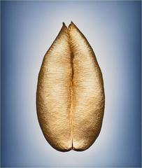 Means of Reproduction no. 116 – ASTRAGALUS POMONENSIS, Pomona milvetch