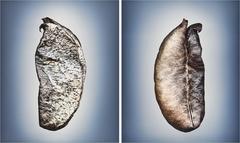 Means of Reproduction no.1151 & 1152, ASTRAGALUS POMONENSIS, Pomona Milkvetch