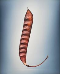 No. 11302 CAESALIPINIA PULCHERRIMA - Poinciana