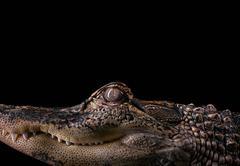 Alligator #2, Los Angeles, CA