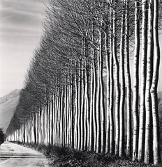 Poplar Trees, Fucino, Abruzzo, Italy