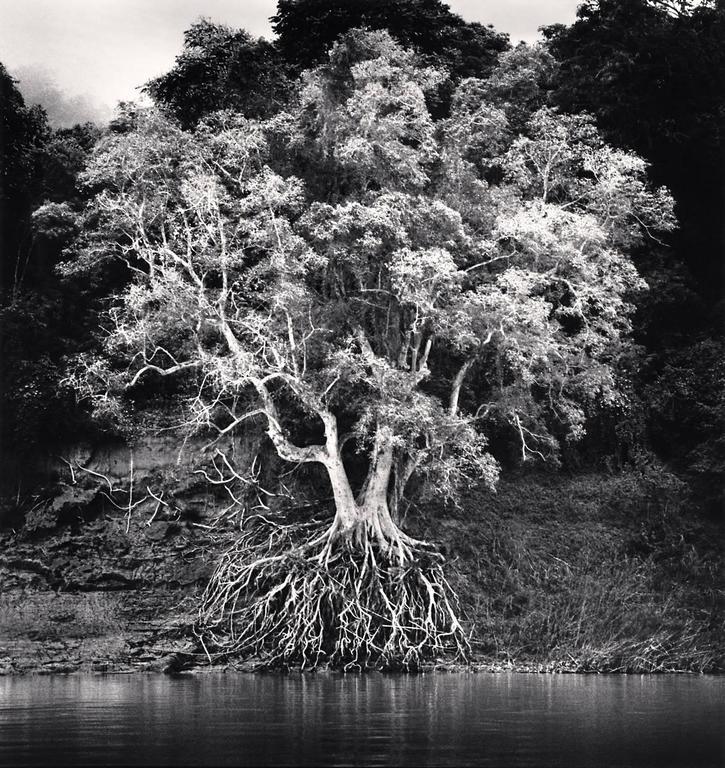 Kokdua Tree and Exposed Roots, Mekong River, Luang Prabang, Laos