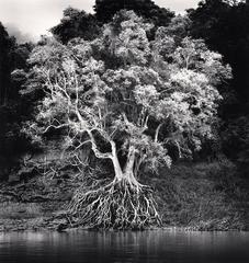 Kokdua Tree and Exposed Roots, Mekong River, Luang Prabang, Laos