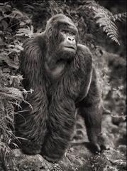 Gorilla on Rock, Parc des Volcans
