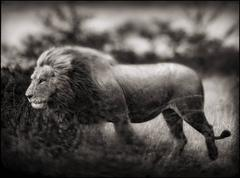 Windswept Lion, Serengeti