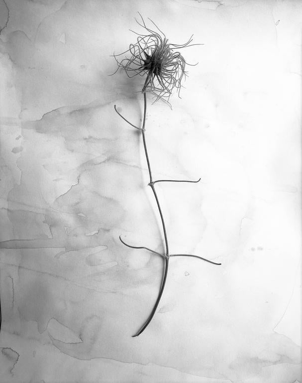 Dried Clematis Blossom