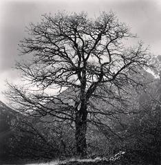 Oak Tree and Monte Cagno Mountains, Terranera, Abruzzo, Italy