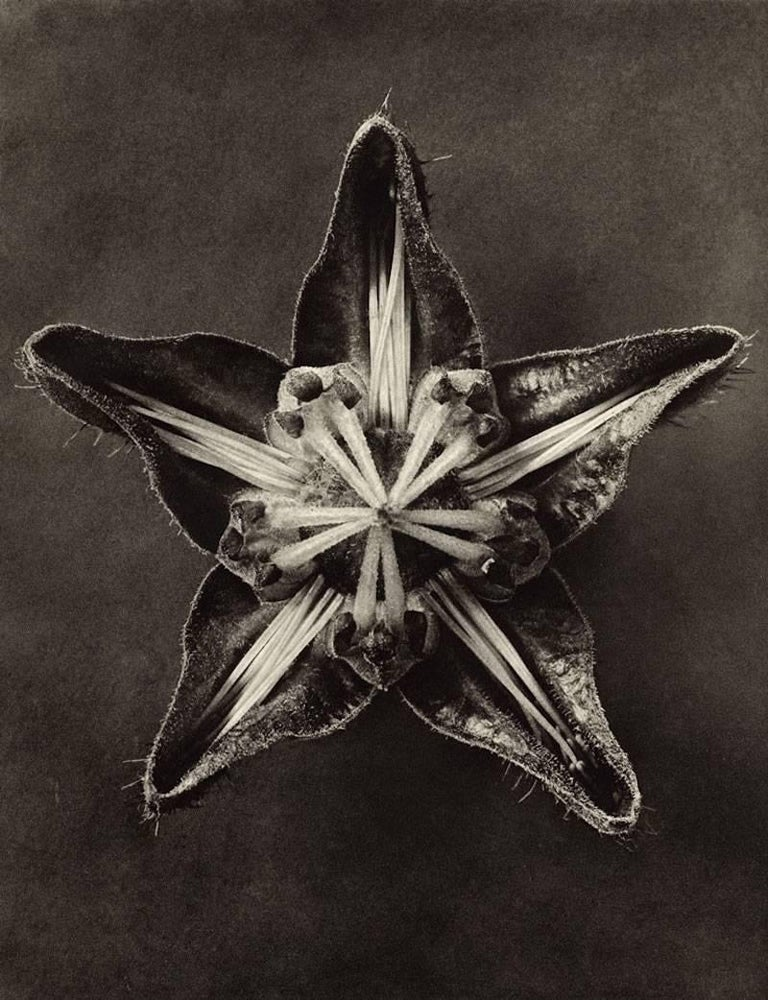 This work is an exquisite black-and-white photogravure plate from German Photographer Karl Blossfeldt's seminal early-20th Century monographs Urformen der Kunst or Wundergarten der Natur. Karl Blossfeldt insisted that 'the plant must be valued as a