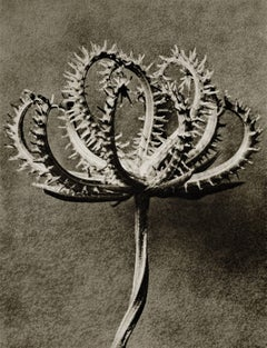 Plate 53 - Koelpinia linearis (Compositae) seed head