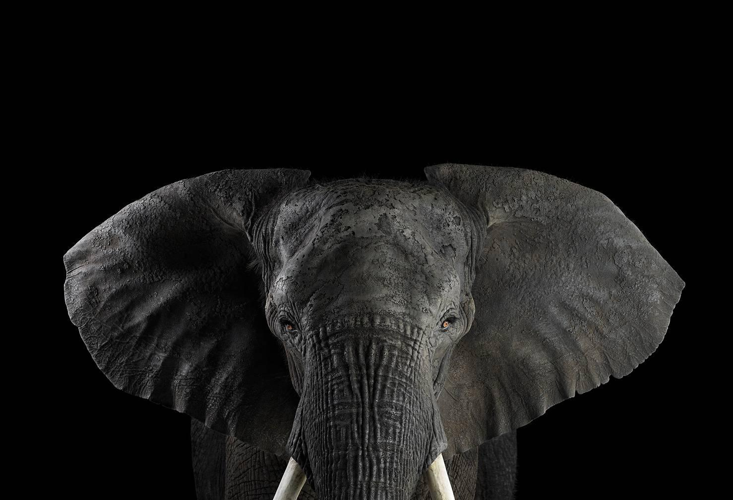 African Elephant #1, Los Angelels, CA