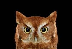 Eastern Screech Owl #1, St. Louis, MO