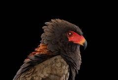 Bateleur Eagle #1, St. Louis, MO