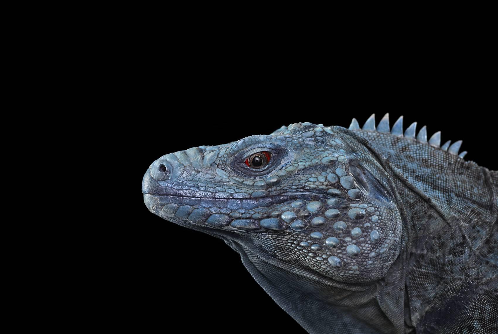 Blue Iguana For Sale : Brad wilson grand cayman blue iguana albuquerque nm