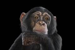 Chimpanzee #16, Los Angeles, CA, 2016