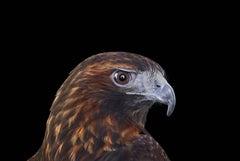Red Tailed Hawk #3, Albuquerque, NM, 2016