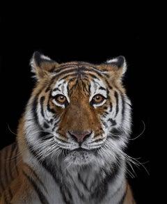Tiger #7, Los Angeles, CA, 2016