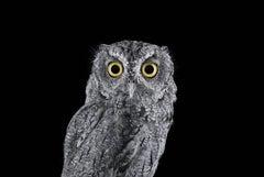 Western Screech Owl #4, Espanola, NM, 2016