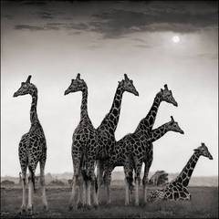 Giraffe Fan, Aberdares