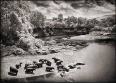 Hippos on the Mara River, Maasai Mara