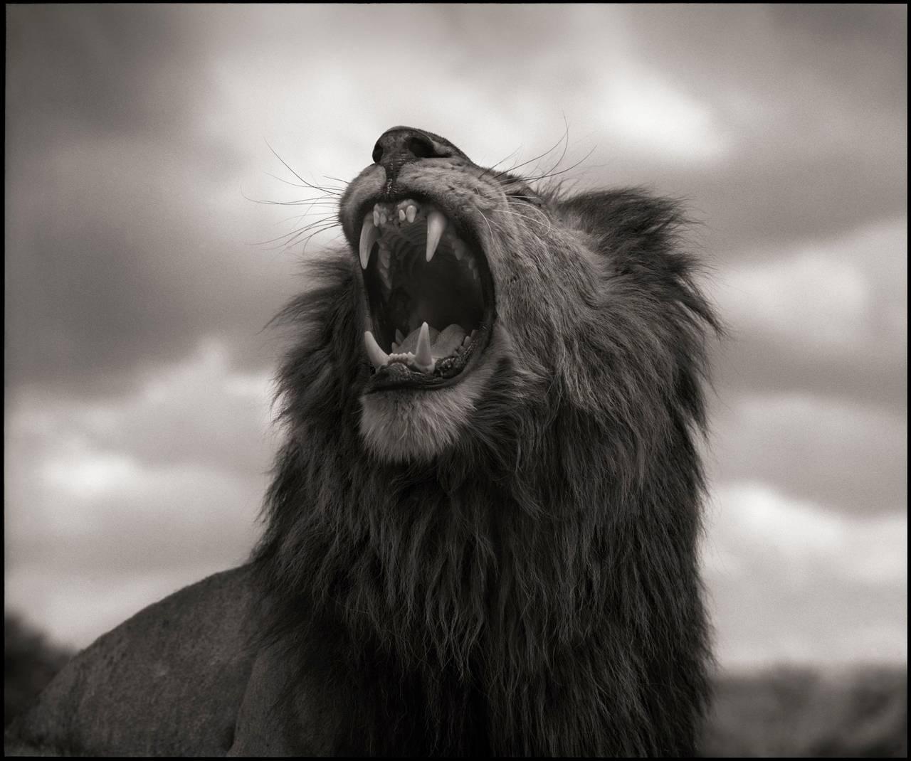 Nick Brandt - Lion Roar, Maasai Mara, Photograph: For Sale ...