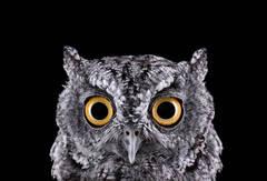 Western Screech Owl #1, Espanola, NM