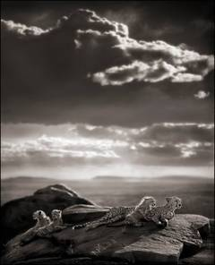 Cheetah & Cubs Lying on Rock, Serengeti 2007