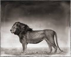 Portrait of Lion Standing in Wind, Maasai Mara, 2006