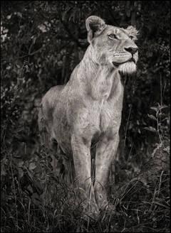 Lioness Against Dark Foliage, Serengeti, 2012