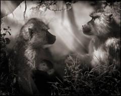 Baboons in Profile, Amboseli 2007