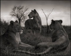 Lion Circle, Serengeti, 2012