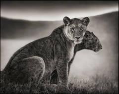 Sitting Lionesses, Serengeti 2002