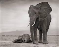 Elephant Mother with Baby Sleeping, Amboseli 2012