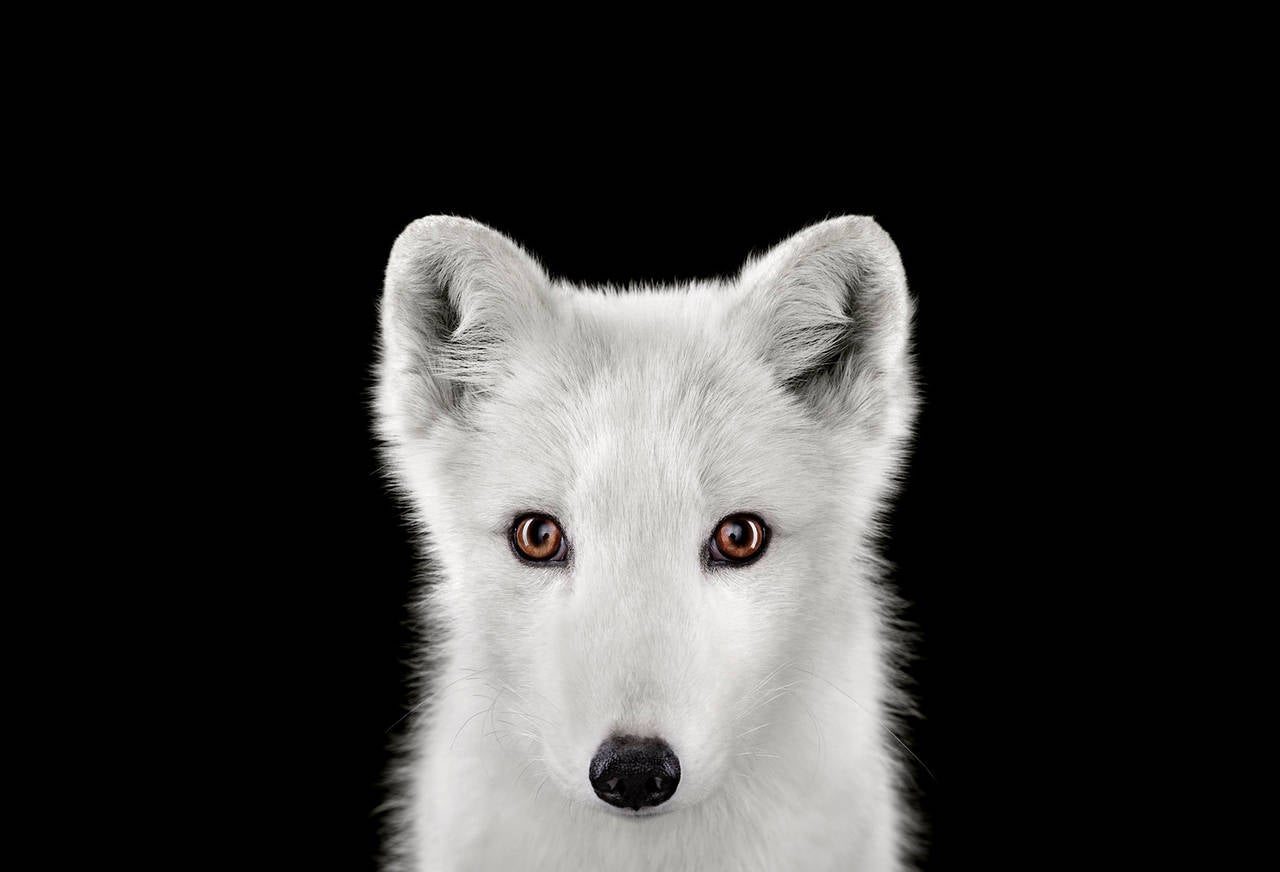 Arctic Fox no. 1