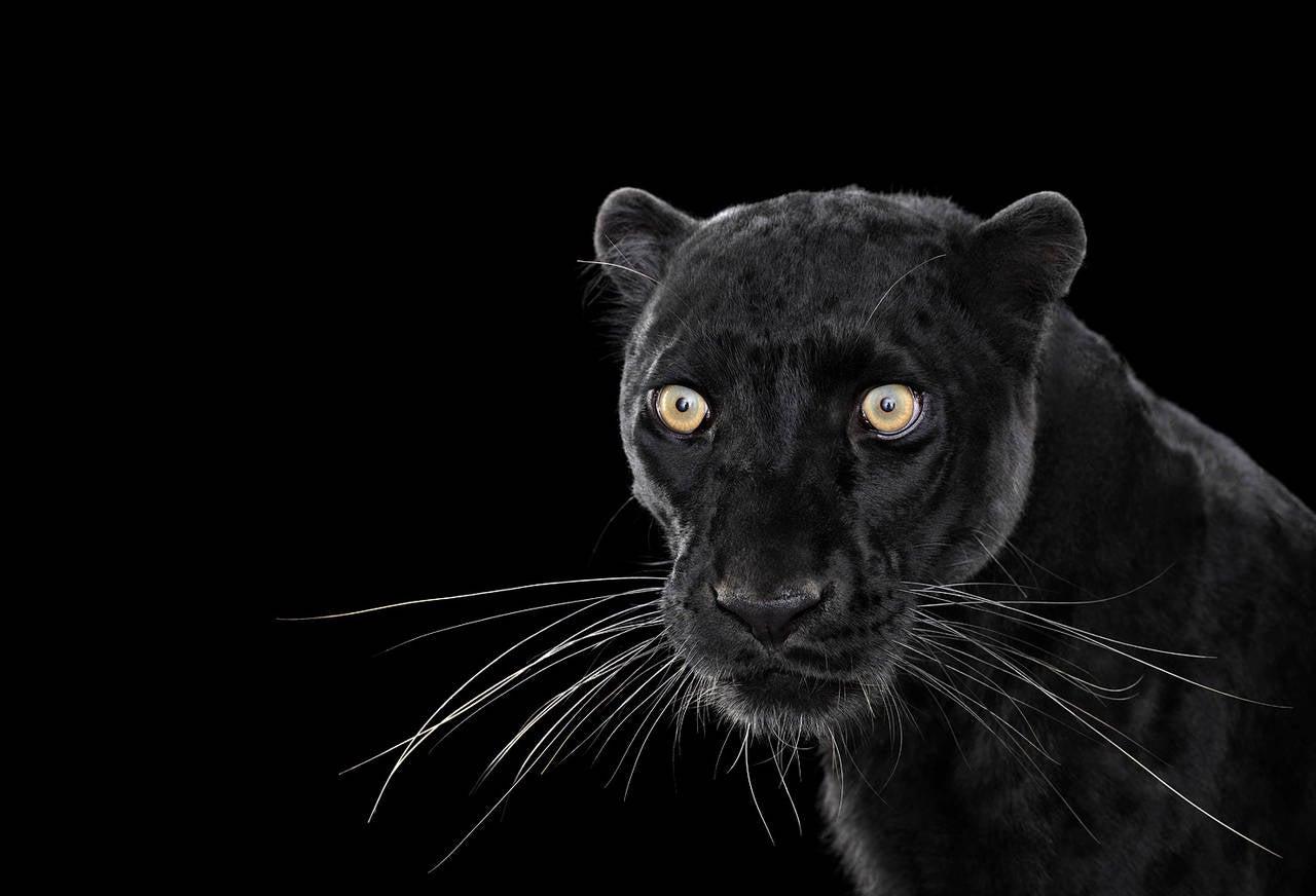 Black Leopard no. 1
