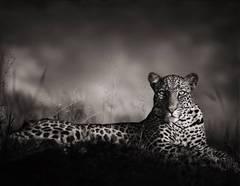 Leopard Staring, Masai Mara