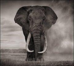 Elephant in Dust, Amboseli