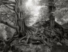 Yews of Wakehurst