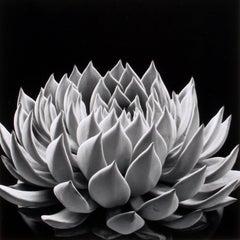 Succulent: Echeveria Radiance
