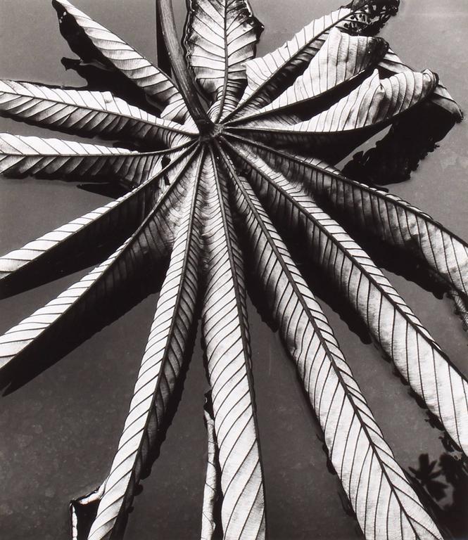 Brett Weston - Leaf on Asphalt 1