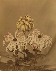 Chrysanthemum (1 Washigamine 2 Riukonoisami)