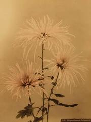 Chrysanthemum (Senjogataki)