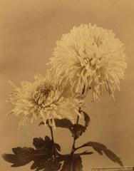 Chrysanthemum Yukidoro