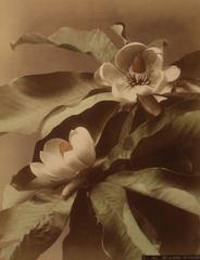 Magnolia Watsoni