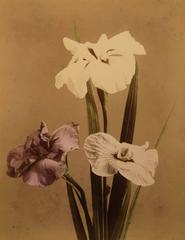 Orchid (Miltonia)