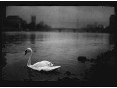 Swan, Thames
