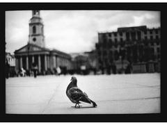 Pigeon, Trafalgar Square