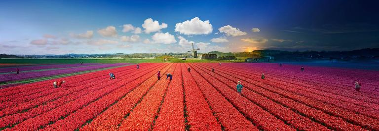 Stephen Wilkes - Tulips, Bergen, The Netherlands, Day to Night 1