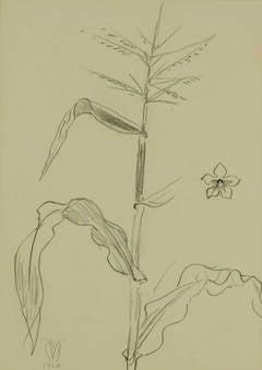 Study of Corn with Nicotaina
