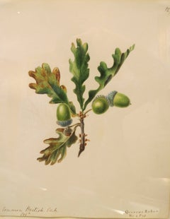 """Common British Oak - Quercus Robur"""